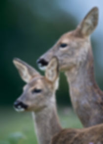 Mother deer watching over her fawn.