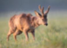 Roe deer moulting shaking off loose hairs.