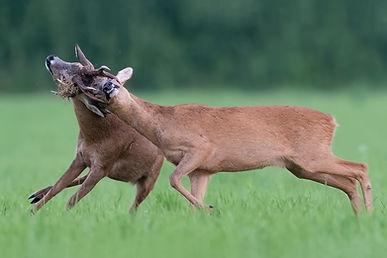 Roe deer fighting / rutting.