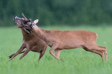 Roe deer fighting / rutting.