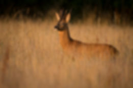 Male roe deer
