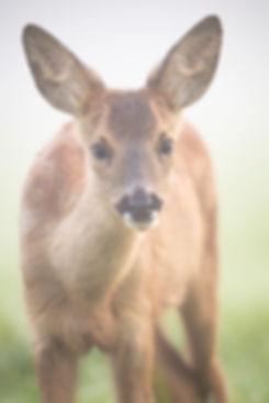 Roe deer fawn.
