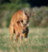 Roe deer mating.