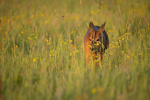 Roe deer walking through a field.