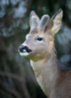 Male roe deer with growing antlers.