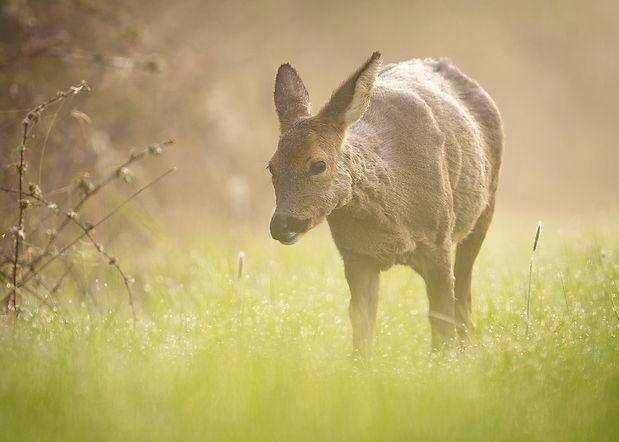Roe deer walking2.jpg