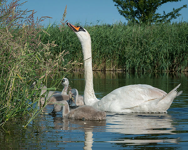 Youngs swans with mother