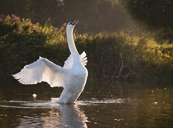 Swan shaking wings