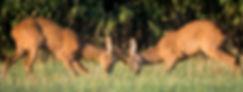 Roe deer sparring