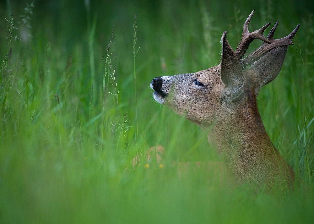 Male roe deer smelling the air.