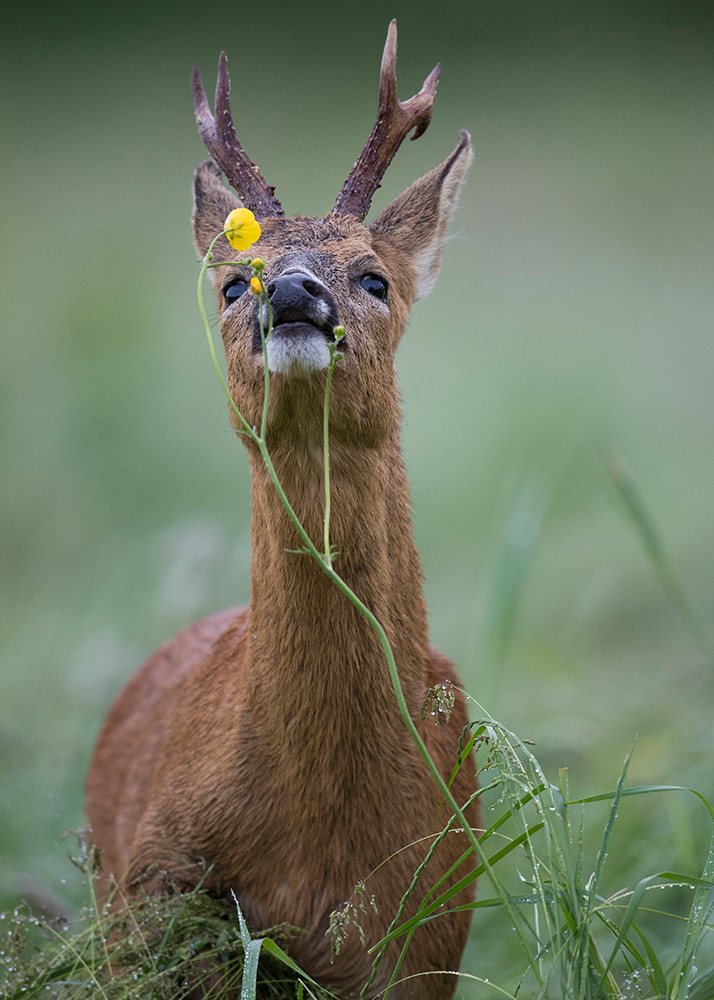 Roe eating buttercups