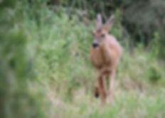 Female roe deer walking along a line of bushes