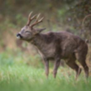Deer shaking down.