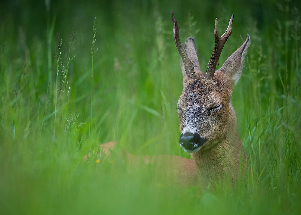 Roebuck laying down in long grass.