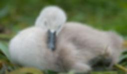 Baby swan sleeping.