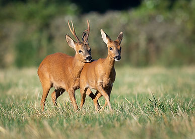 Roe deer, mating, courtship