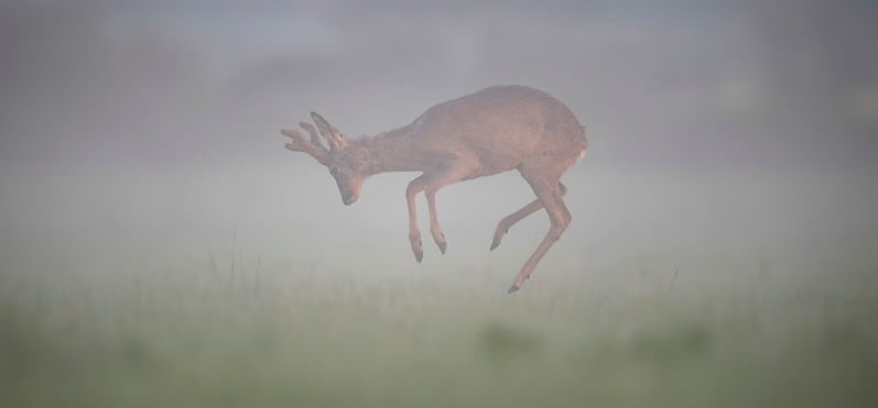 Roe deer jumping in the fog