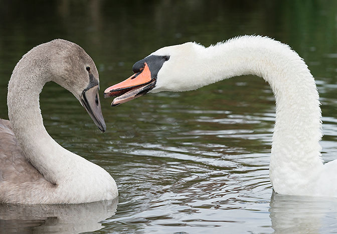 Male swan and cygnet