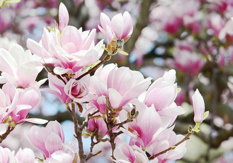 dutch-wallcoverings-fotobehang-roze-bloe