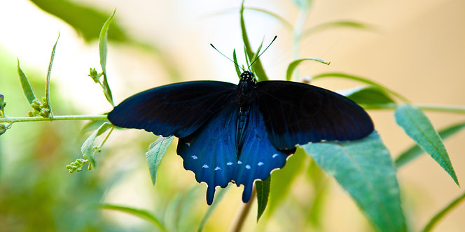 """Emergence"" (Pipevine Swallowtail)  (Signed • Numbered • Limited Edition)"