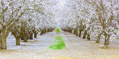 """Almond Blossom Tunnel""  (Signed • Numbered • Limited Edition)"
