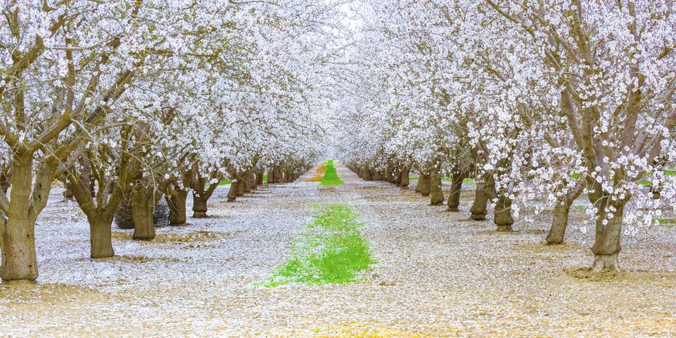 Almond Blossom Tunnel-DT5_5245-3KForWebs