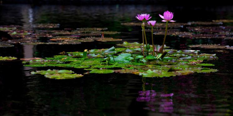 Serenity - Hawaii Lilies-3KWideforWeb.jp