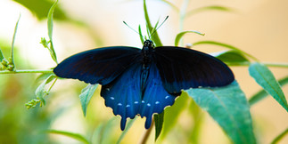 Emergence - Pipevine Swallotail - 3KforW
