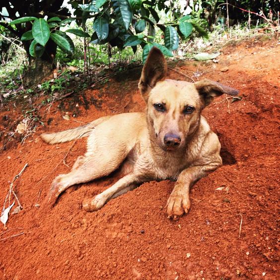 Set Dog in India