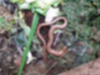 slow worm in compost.jpg