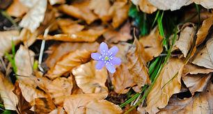 fleur violette en automne