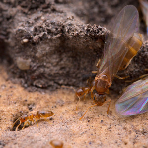 Brachymyrmex Depilis workers and winged alates