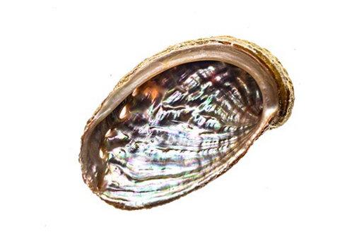 """Abalone Shell 3"""""""