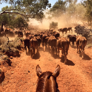 Droving in W.A Southern Pilbaras