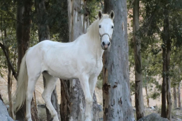 Yuma, beautiful white horse, teaches about the art of dying. Wisdom of horses.