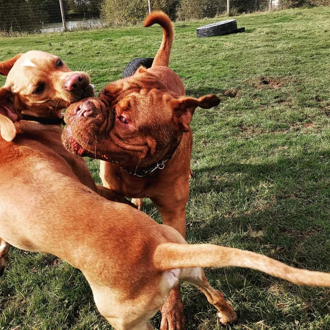 Dogue De Bordeaux Doggy Playdate Event