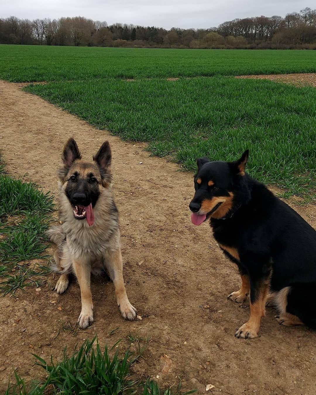 German Shepherd Dog Playdate Event