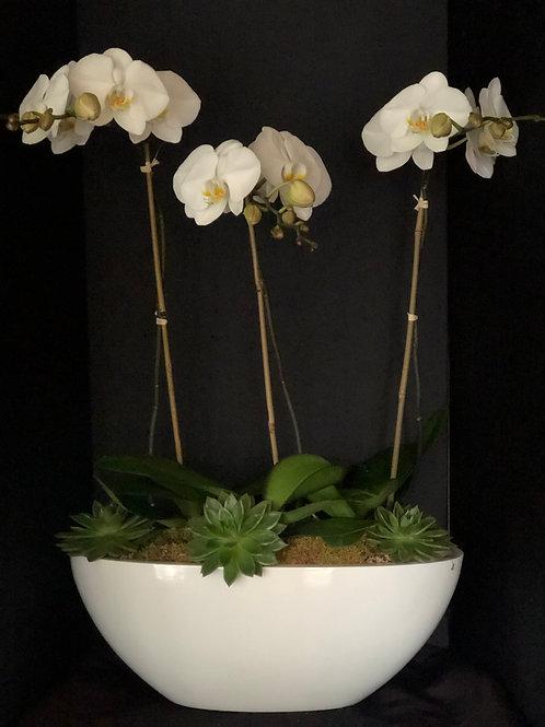 Triple stem phalaenopsis orchid