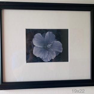 Hibiscus 19x22 $50 per week