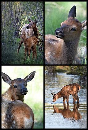 Endearing Elk