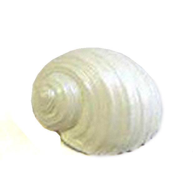 Διακοσμητικός Κοχλίας 16cm | ZAROS