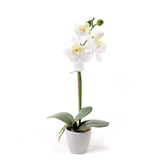 Mini φαλένοψις σε κεραμικό γλαστράκι, λευκή,35cm | ZAROS