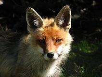 Foxy Lady.jpg