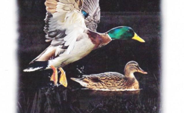 DAV Duck T-shirt