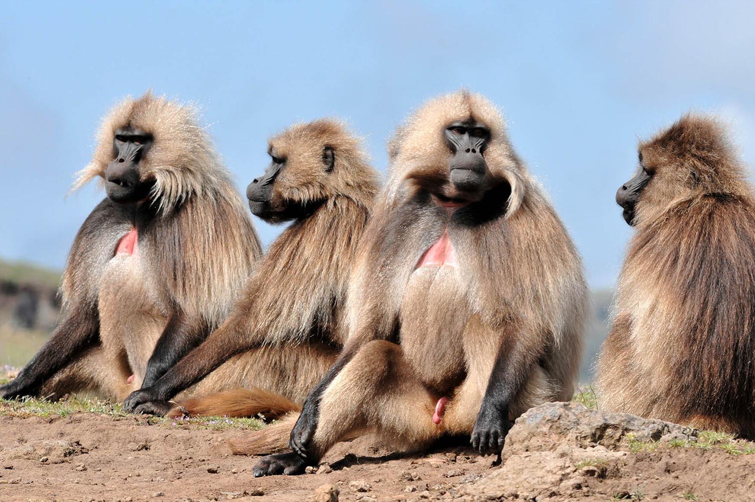 קופי הג'ילאדה בשמורת הרי סימיאן