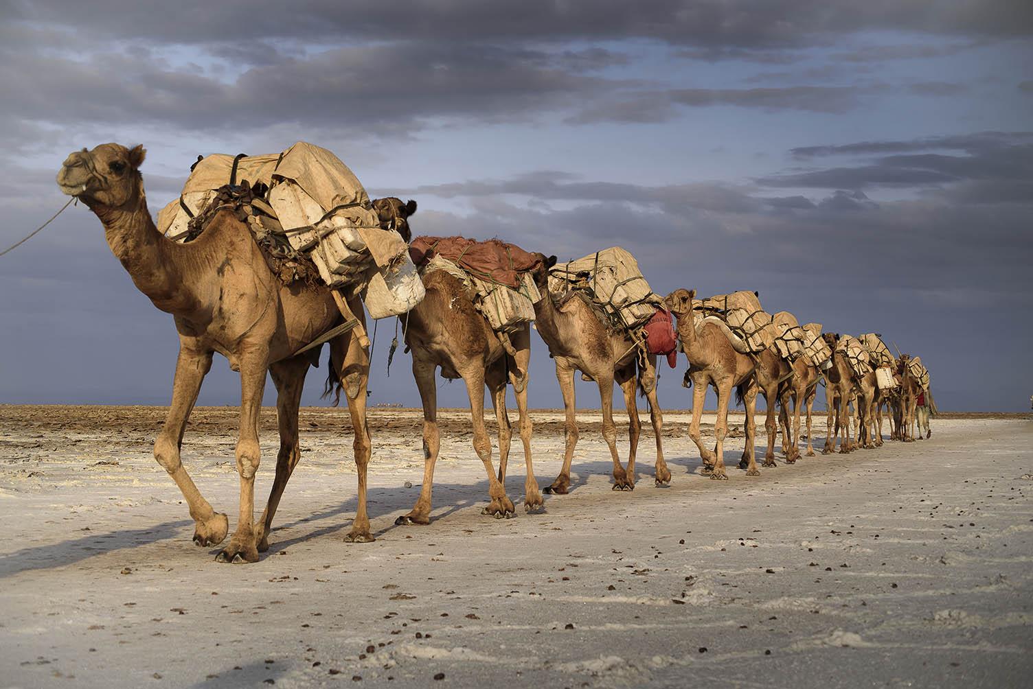 שיירת גמלים במדבר דאנקיל