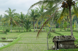 Rice Land 2013 Bali