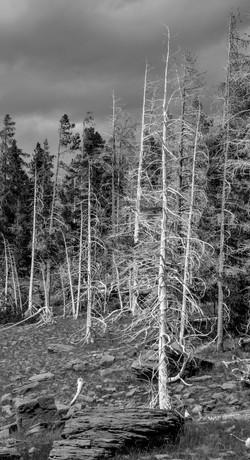 White Trees 2011 Yellowstone