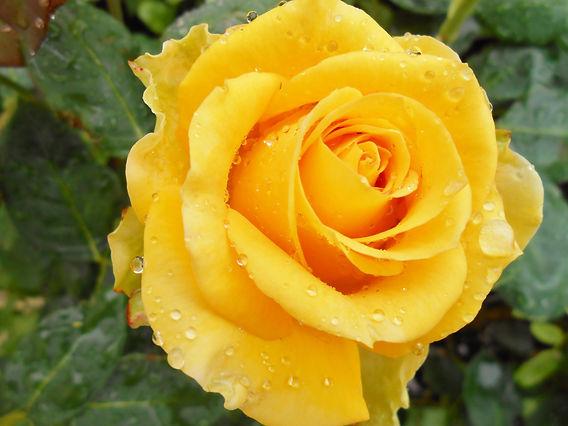 golden rose dbox.jpg