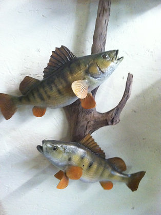 2 reproduction Perch